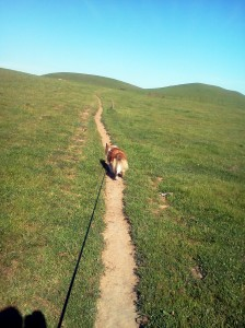 Lucky taking his Human for a walk in the Green hills of the Solano Land Trust, San Francisco Bay Area of California